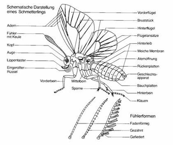 The Digestive System And Its Arthropoda Phylum